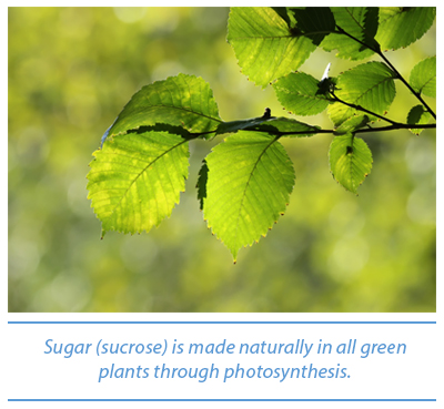 Green plants make sugars through photosynthesis