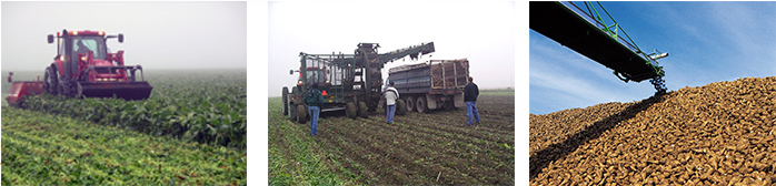 Three images of harvesting sugar beets from the field